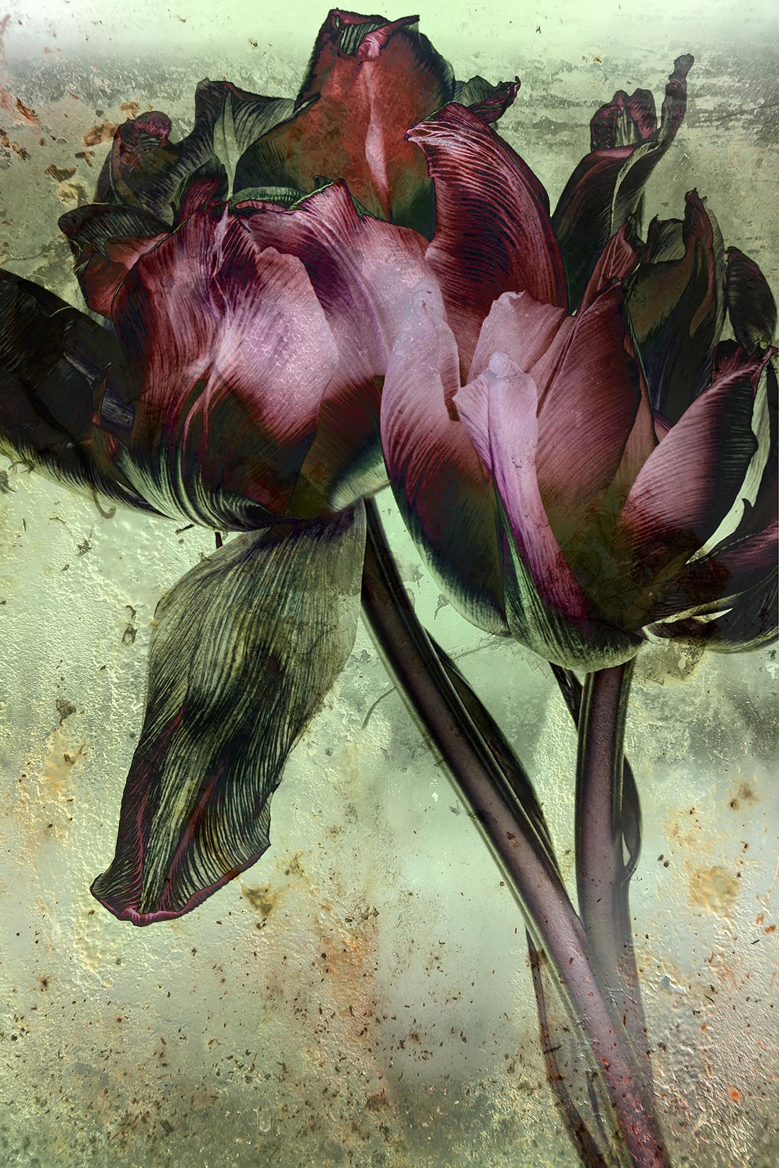 Fading Flowers 2Tulpen 100 x 150 cm